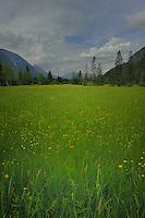 Green alpine meadow, Imst district, Tyrol/Tirol, Austria, Alps.