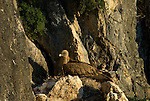 Adult Griffon Vulture sitting on nest
