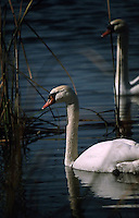 PAIR OF SWANS CRUISING THE POND