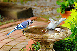 Blue Jay on bird bath with duck fountain.