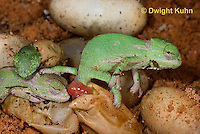 CH43-540z  Veiled Chameleon young hatching from eggs, Chamaeleo calyptratus