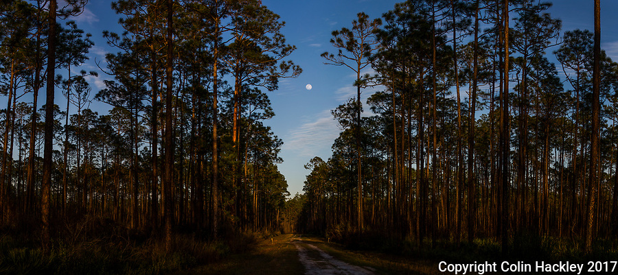 SOPCHOPPY, FLA. 3/10/17-A nearly full moon climbs over the Apalachicola National Forest near Sopchoppy, Fla. <br /> <br /> EDITOR'S NOTE: This image is comprised of multiple photos taken at the same moment and stitched together in photoshop to create a panorama<br /> <br /> <br /> COLIN HACKLEY PHOTO
