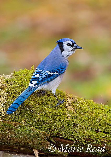 Blue Jay (Cyanocitta cristata) perched on a moss-covered log, New York, USA