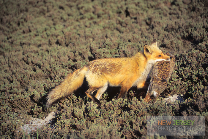 Red Fox, carrying prey, Island Beach State Park, New Jersey