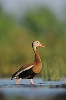 Black-bellied Whistling-Duck, Dendrocygna autumnalis,male, Lake Corpus Christi, Texas, USA, April 2003