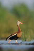 Black-bellied Whistling-Duck, Dendrocygna autumnalis,male, Lake Corpus Christi, Texas, USA, April 2003