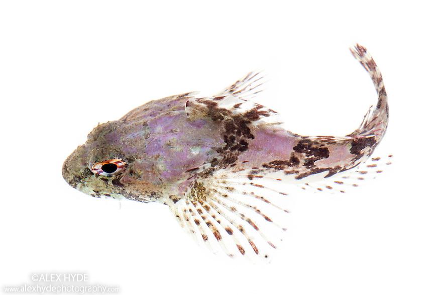 Sea Scorpion / Bullfish {Taurulus bubalis. Photographed on a white background. Isle of Skye, Inner Hebrides, Scotland, UK. March.