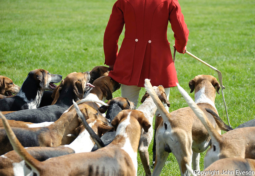 Beagles with huntsman wearing hunting pink.