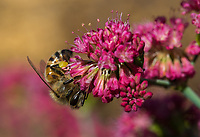 A honeybee feeds on a San Miguel Island buckwheat's bright pink flowers in this extreme closeup.  The bee's body hairs, eyes, wings, and full pollen basket are sharply in focus as it pollinates the flower and feeds on its nectar.  Many of the flowers are open showing their anthers, but others are still closed.