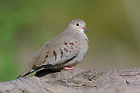 Adult female Common Ground-Dove (Columbina passerina). Hidalgo County, Texas. March.