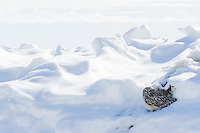 A Short-eared Owl attempts to hide against a bare patch of earth on the Arctic tundra.