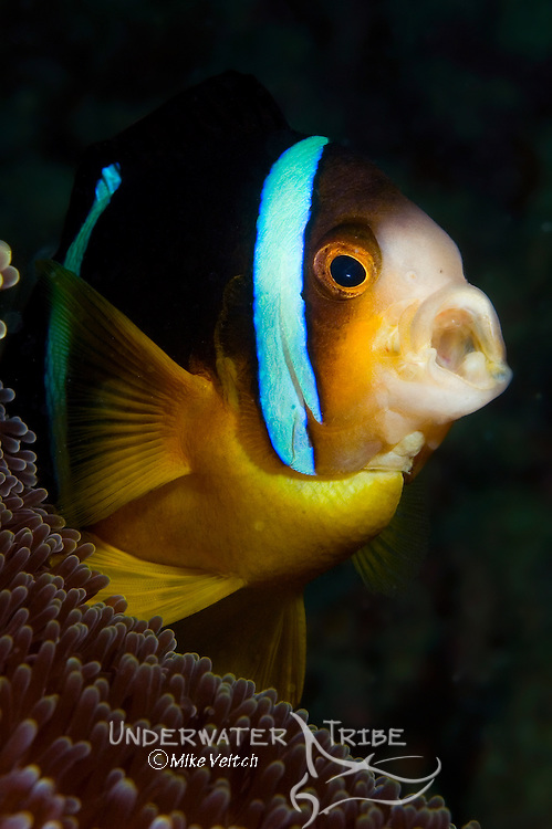 Orangefin anemonefish, Amphiprion chrysopterus,  living in Haddon's Sea Anemone, Stichodactyla haddoni, Yap, Federated States of Micronesia, Pacific Ocean