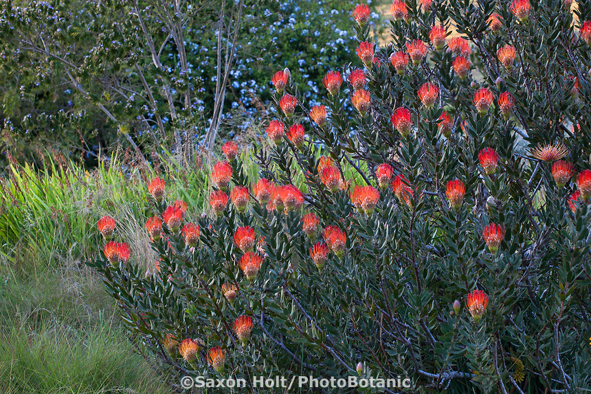 Leucospermum cordifolium, red pincushion protea, flowering South African shrub, Leaning Pine Arboretum, California garden