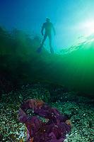 Diver floating above Ochre Sea Star (Pisater ochreceus) underwater in Agamemnon Channel on British Columbia, Canada's Sunshine Coast.