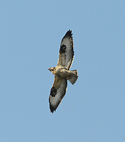 Common Buzzard - Buteo buteo - 1st winter. Wingspan 115-130cm. Britain's commonest medium-sized bird of prey. Soars with broad, rounded wings held in shallow 'V', with tail fanned. Plumage is very variable and some birds are very pale. Sexes cannot be distinguished by appearance. Adult is typically brown overall; breast is finely barred and usually paler than throat or belly. In flight and from below, flight feathers and tail are grey and barred; note dark trailing edge to wings and dark terminal band on tail. Body and underwing coverts are contrastingly dark (carpal patch is darkest) and pale breast band can usually be seen. Juvenile is similar to adult but lacks terminal dark band on tail and obvious dark trailing edge to wings. Voice – utters a mewing pee-ay. Status and habitat – Present throughout the year and widespread, least numerous in east. Usually associated with lightly wooded farmland.