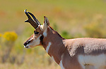 Pronghorn Male, Close Portrait, Lower Mammoth, Yellowstone National Park, Wyoming