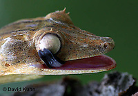 0505-0884  Lined Leaf-tailed Gecko, Tongue Cleaning Eye, Uroplatus lineatus © David Kuhn/Dwight Kuhn Photography