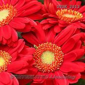 Gisela, FLOWERS, BLUMEN, FLORES, photos+++++,DTGK2013,#f#