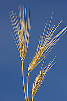 SPring white wheat<br /> Indian Head<br /> Saskatchewan<br /> Canada