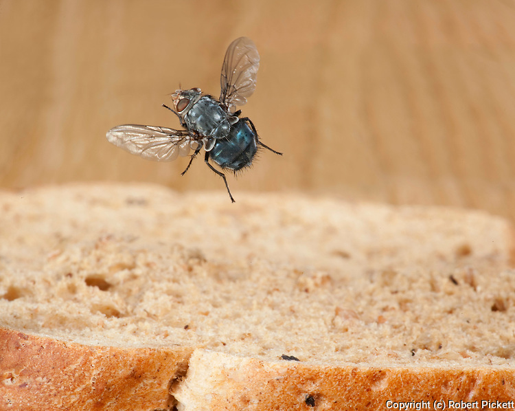 Bluebottle Fly, Calliphora vicina, in flight, free flying over bread in kitchen, high speed photographic technique.United Kingdom....