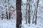 Oak-pine forest in Shawme-Crowell State Forest, Sandwich, Cape Cod, MA, USA