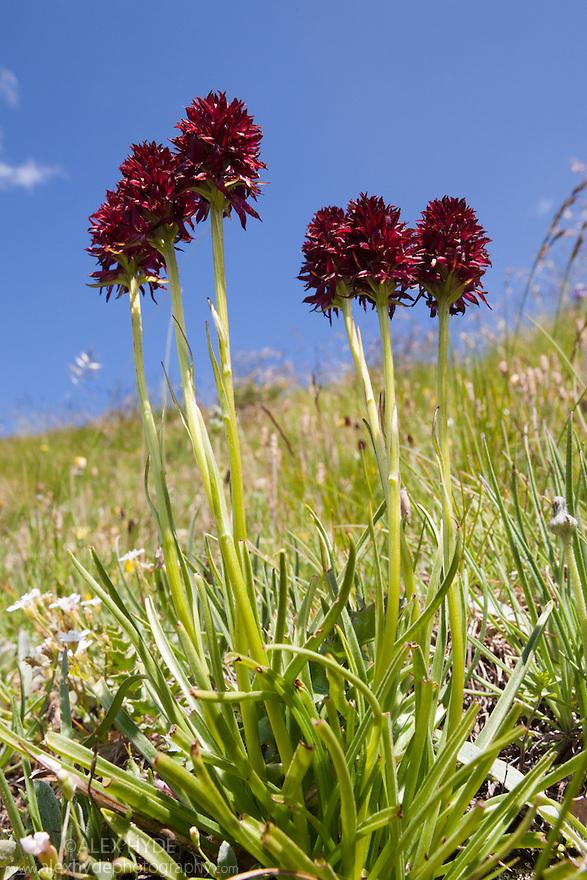 Vanilla Orchid {Nigritella nigra}, Aosta Valley, Monte Rosa Massif, Pennine Alps, Italy. July.