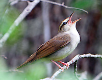 Adult male Swainson's warbler