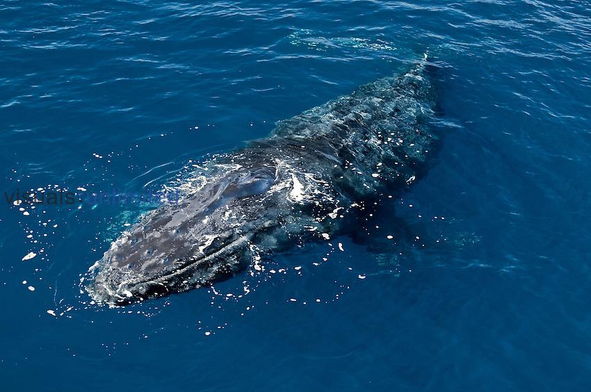 Humpback whale (Megaptera novaeangliae),  Sea of Cortez, Baja California, Mexico