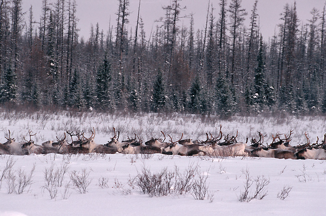 A herd of reindeer walking through deep snow at their winter pastures. Central Siberia, Russia.