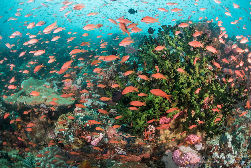 Verde Island, Oriental Mindoro, Philippines; scalefin anthias fish swimming over a large colony of black sun corals on the reef