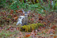 Piebald Columbian Black-tailed Deer or Coastal Black-tailed Deer (Odocoileus hemionus columbianus).  Late Fall, Pacific Northwest.  This is a fawn born in May or June in November (roughly 6 months old).<br /> <br /> Piebaldism is a rare genetic anomaly in deer that can include a range of potential deformities, from coat coloration to skeletal alignment, from mild to severe. This is because some of the same genes that code for coat color also code for other physical traits.  Piebaldism is a recessive trait; it is believed that both parents must carry the recessive gene for there to be a chance that they will produce piebald fawns. It's also possible for a piebald doe to reproduce and bear normal fawns.