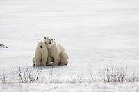 01874-13711 Polar Bears (Ursus maritimus) female with 1 cub. Churchill Wildlife Management Area, Churchill, MB Canada