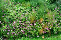 France, Loir-et-Cher (41), Cheverny, château de Cheverny, le Jardin des apprentis, massif avec fenouil (Foeniculum vulgare) et geranium psilostemon