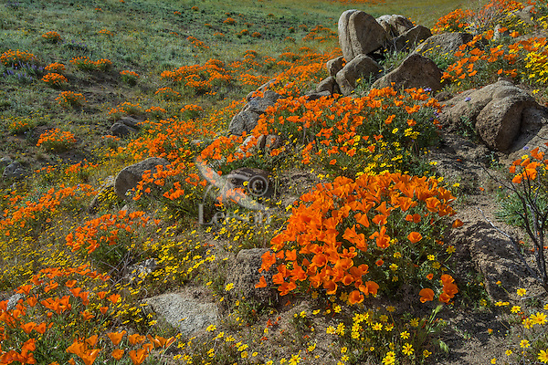Wildflowers--mostly California poppies, blue dicks and goldfields--cover hills and draws near the Antelope Valley California Poppy Reserve.  March.