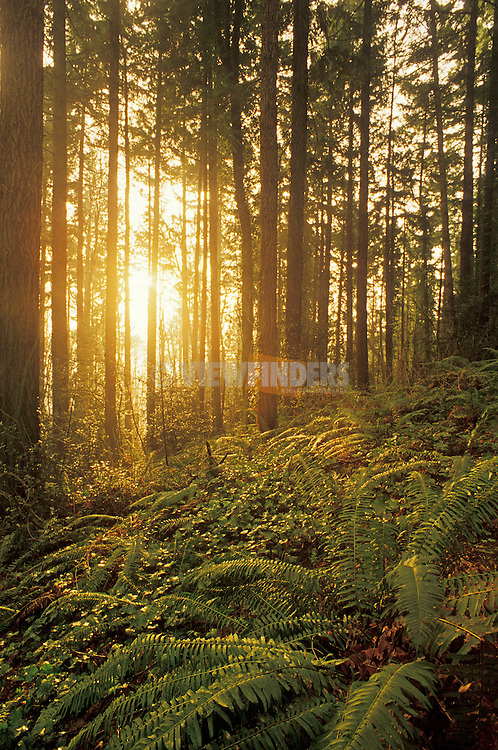 Sunlight streaming through Douglas Fir tree forest with ferns and ivy ground cover; Forest Park, Portland, Oregon..#2322-1216