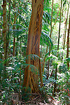 Strangler Fig, Tamborine Mountain National Park, Queensland