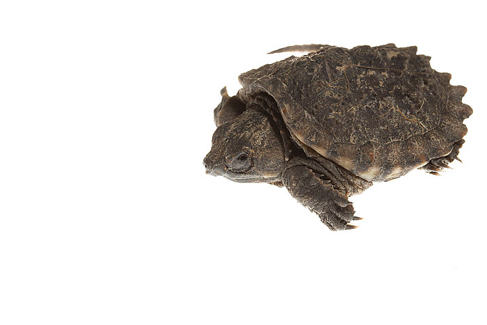 30050-00101 Snapping Turtle (Chelydra serpentina) young on white background, Marion Co., IL