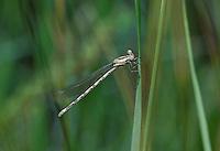 338610019 a wild female vivid dancer argia vivida perches on a grass stem at river springs mono county california