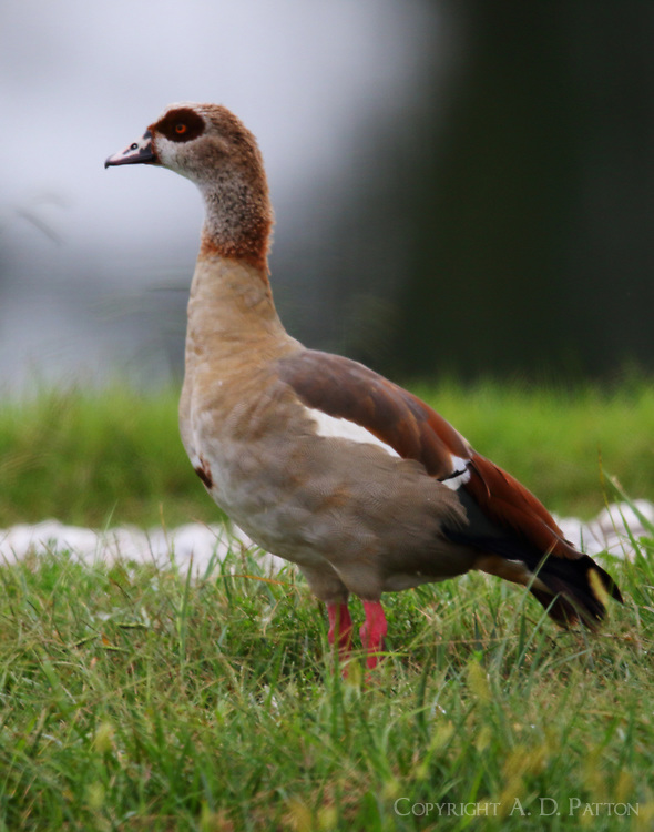 Adult Egyptian goose