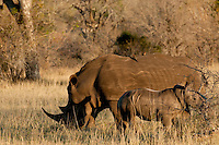 White Rhino are now being targeted in South Africa after a spike in the rhino horn trade that is fuelled from countries in the East. A mother and calf is precious indeed, and due to their slow breeding rate, is likely to become an even greater treasure into the future.