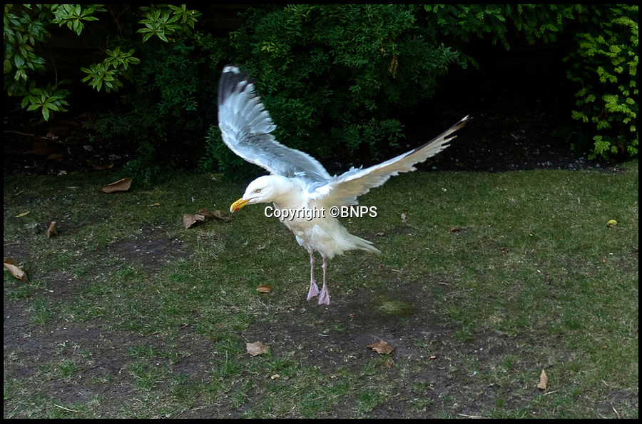 BNPS.co.uk (01202 558833)<br /> Pic:   RogerArbon/BNPS<br /> <br /> The lucky gull being released.<br /> <br /> A seagull that miraculously survived being shot with an arrow has today been released back into the wild after being saved by the RSPCA.<br /> <br /> The male gull was left skewered by the 28ins long arrow fired from a high-powered crossbow, possibly by an angry homeowner fed-up with the nuisance birds.<br /> <br /> The metal arrow went right through the gull's body and somehow missed its vital organs.<br /> <br /> And when vets X-rayed it they realised the bird had been doubly lucky as they found a pellet in its body from where it had been previously shot with an air rifle.