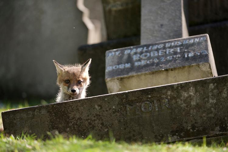 An urban living Red fox (Vulpes vulpes) cub