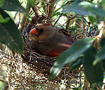 Female cardinal sitting on nest.
