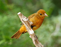 Summer tanager adult female on branch