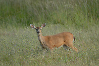 Black-tailed deer (odocoileus hemionus columbianus) on San Juan Islands