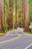 Road through Richardson Grove State Park with redwoods. California