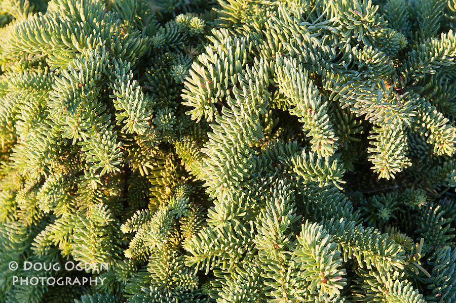 Close-up of Spruce needles