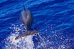 A spinner dolphin leaps ahead of a boat, Stenella longirostris, Yap, Federated States of Micronesia, Pacific Ocean