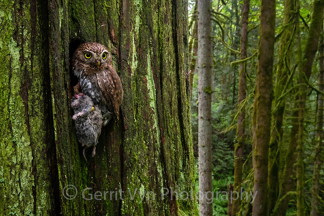 Northern Pygmy-Owl (Glaucidium gnoma) delivering a vole to it's nest. Multnomah County, Oregon. May.