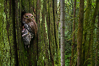 Northern Pygmy-Owl (Glaucidium gnoma) delivering a vole to it's nest deep in its typical mature forest habitat. Multnomah County, Oregon. May.